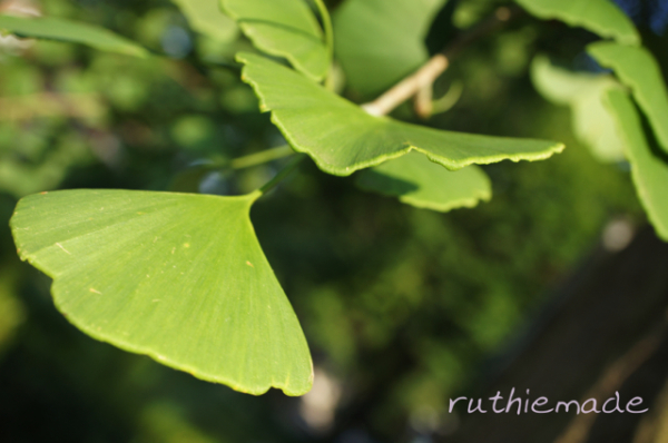My Gingko