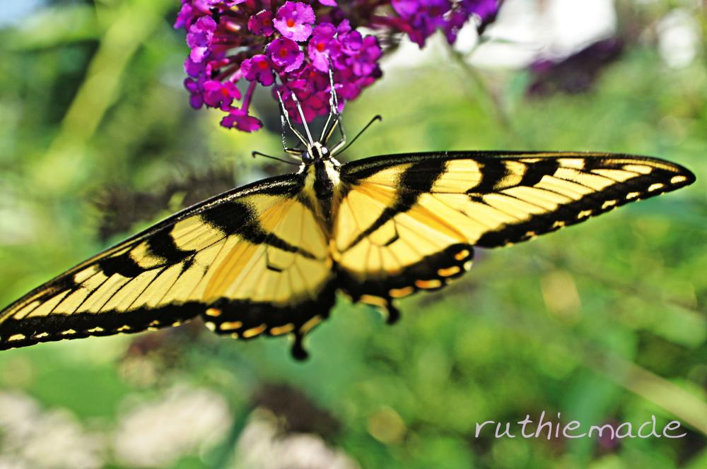 Butterfly on my bush 1
