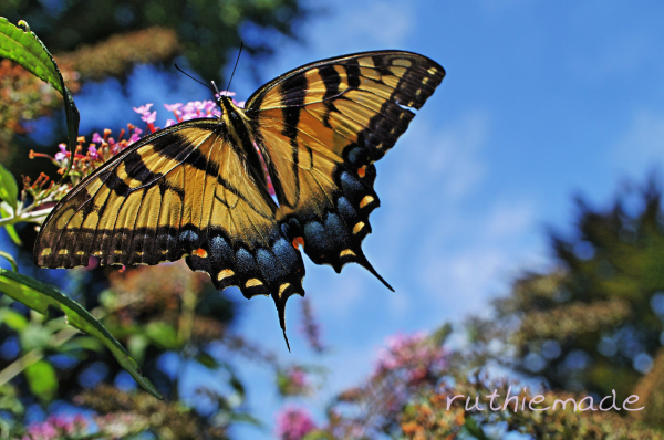 Butterfly on my bush 5