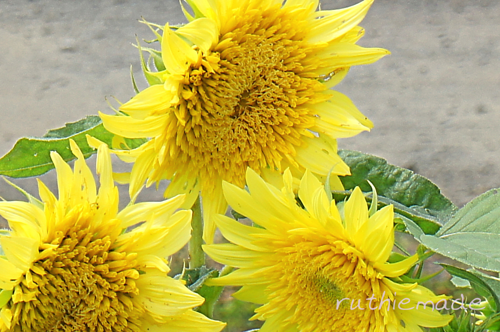 Three Sunflower Blooms