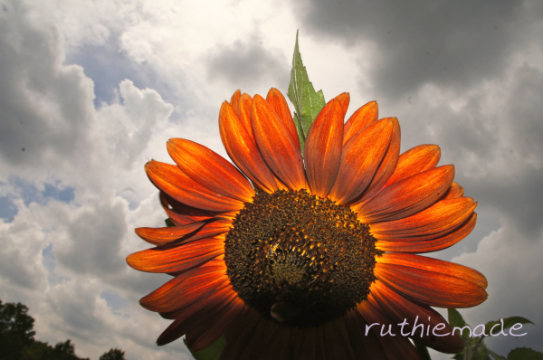 Stormy SUnflower