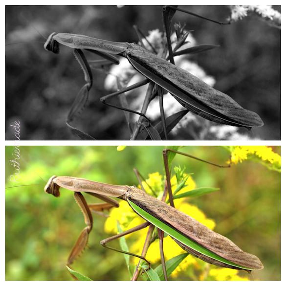 praying mantis choice