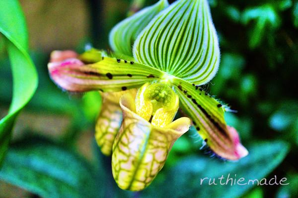 Longwood Gardens Orchid 1