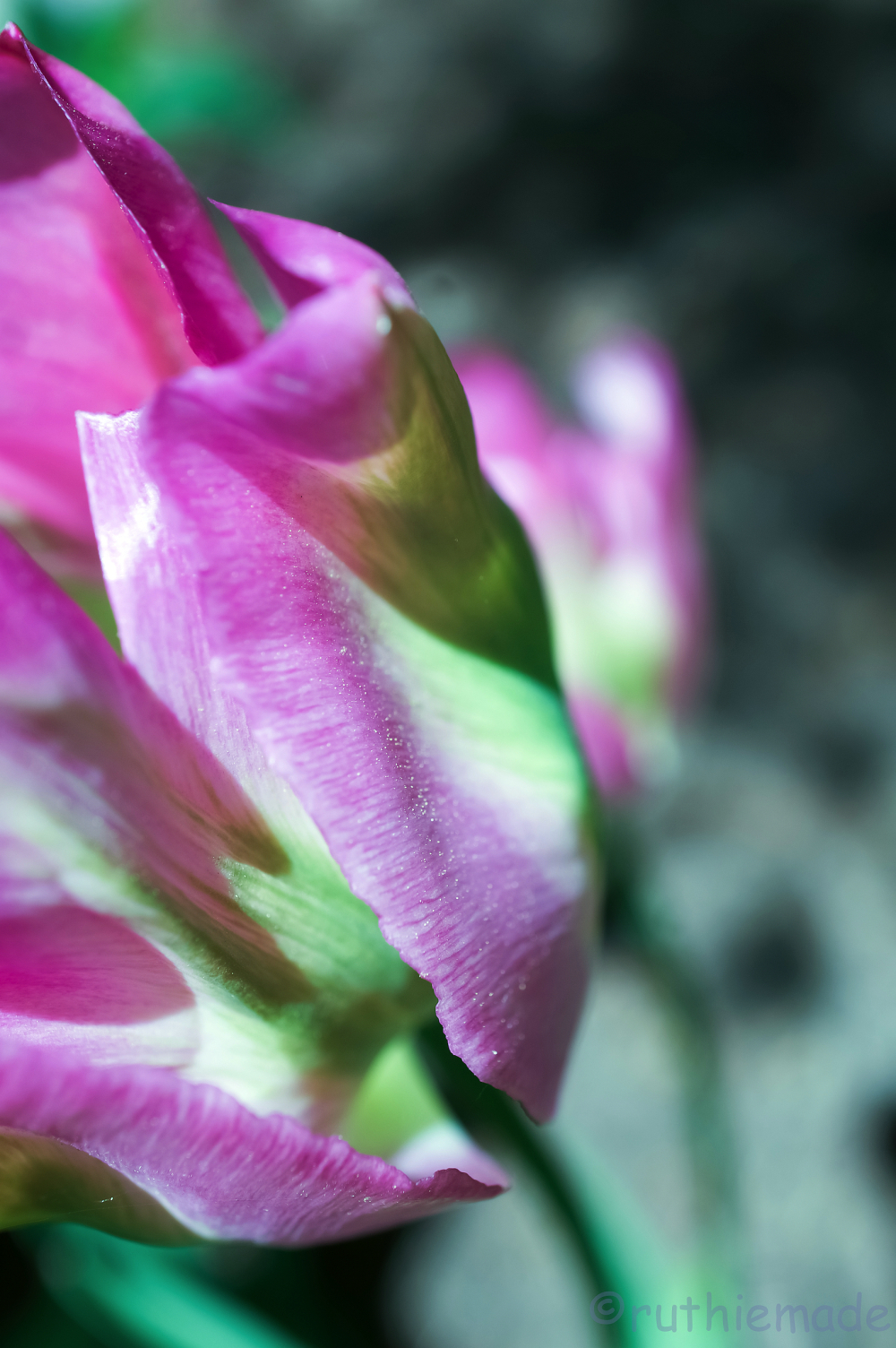 Watermelon Tulip 3