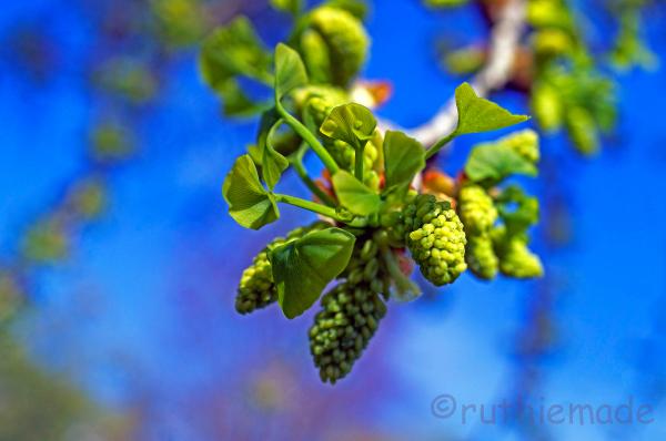 Gingko Bloom (Male Tree)