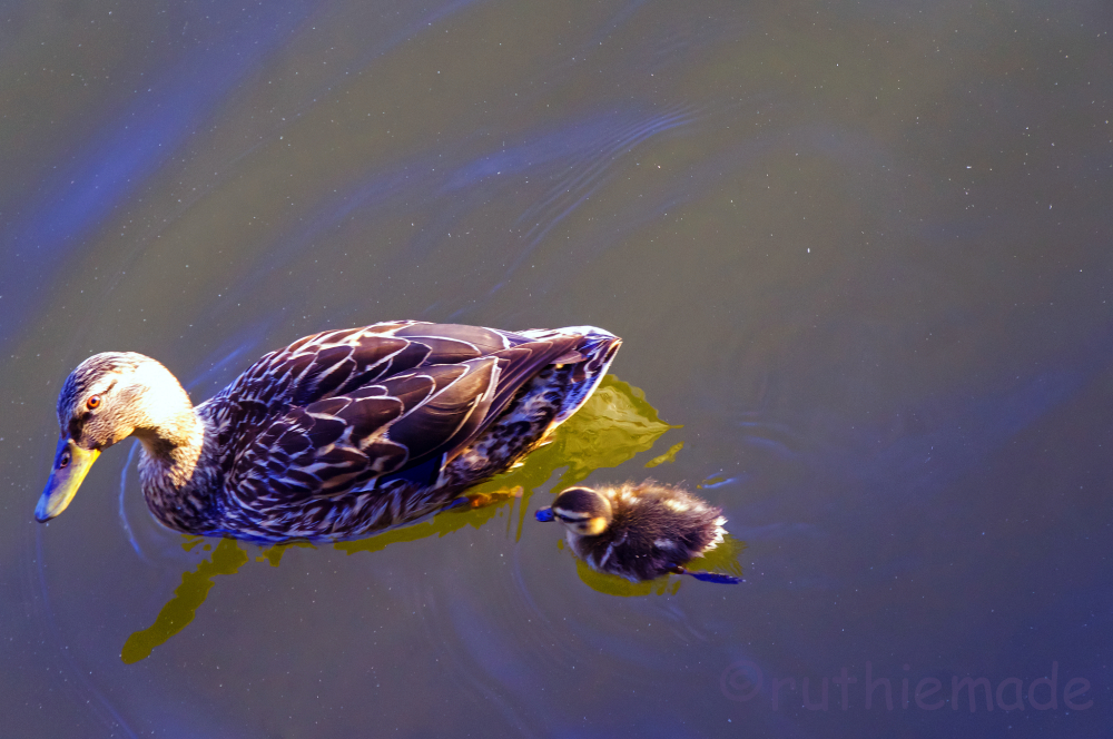 Mama and baby swimming