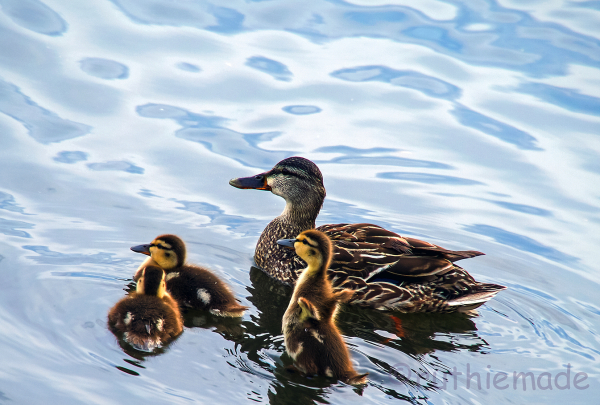 Up with ducklings