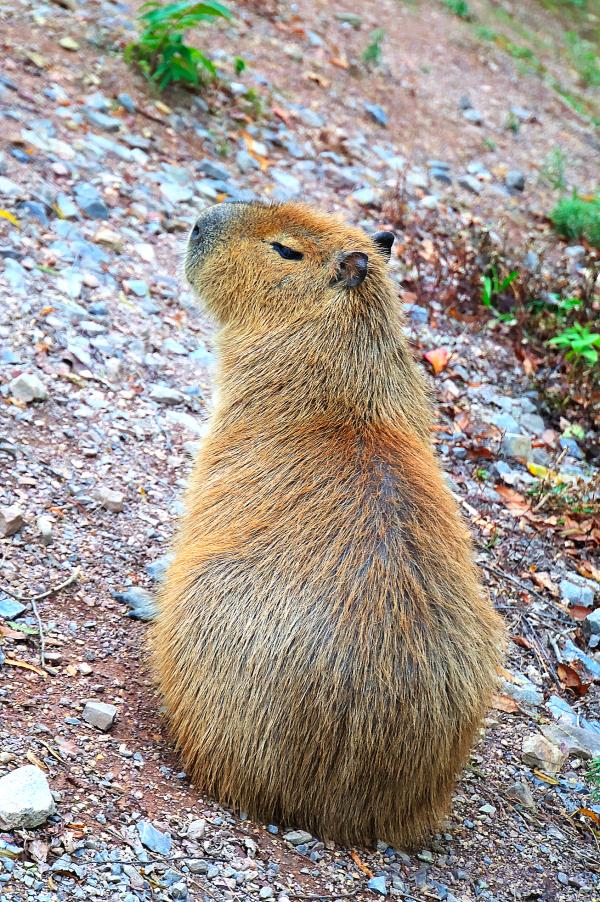 Adult Capybara