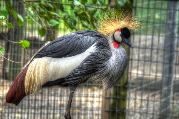 Crowned crane full view