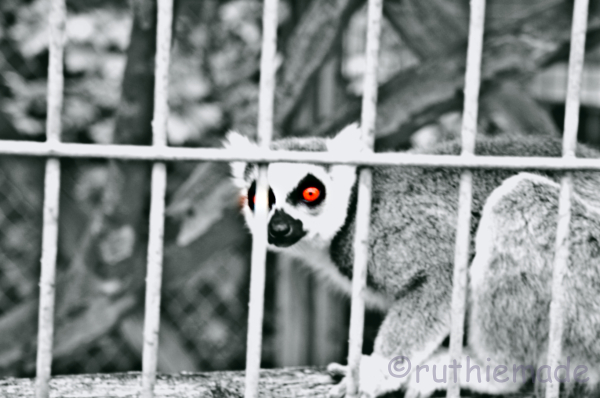 Red eyed lemur