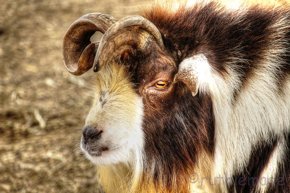 Goat face