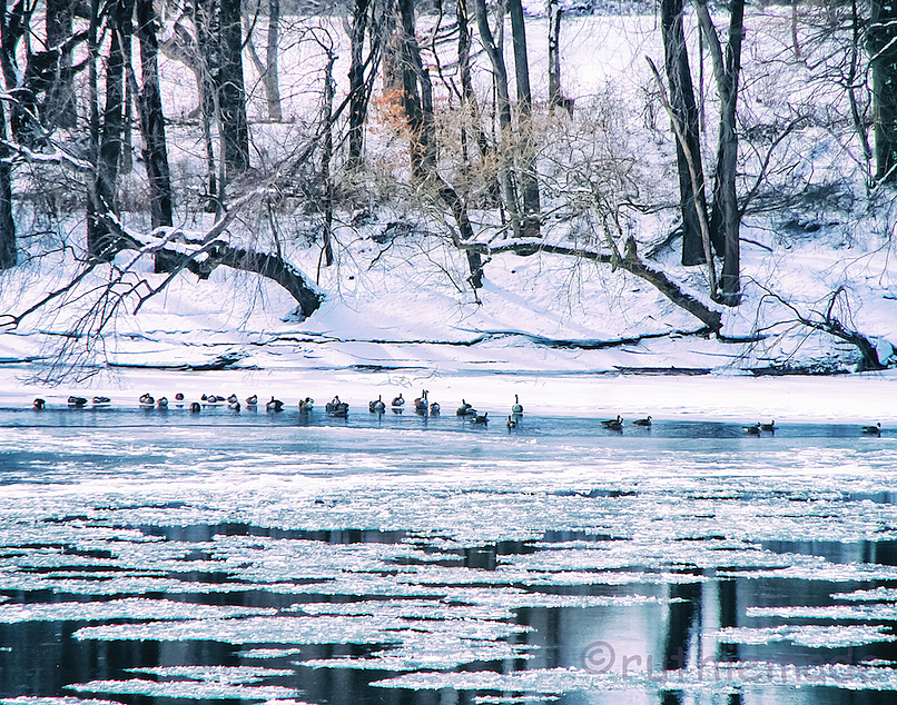 Geese in frozen river