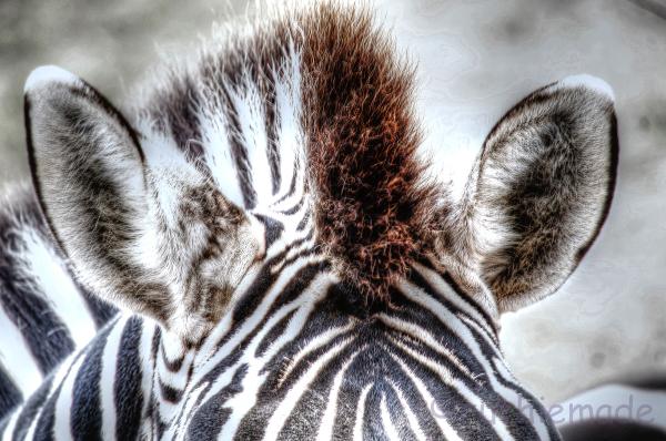 Mane-ly Zebra