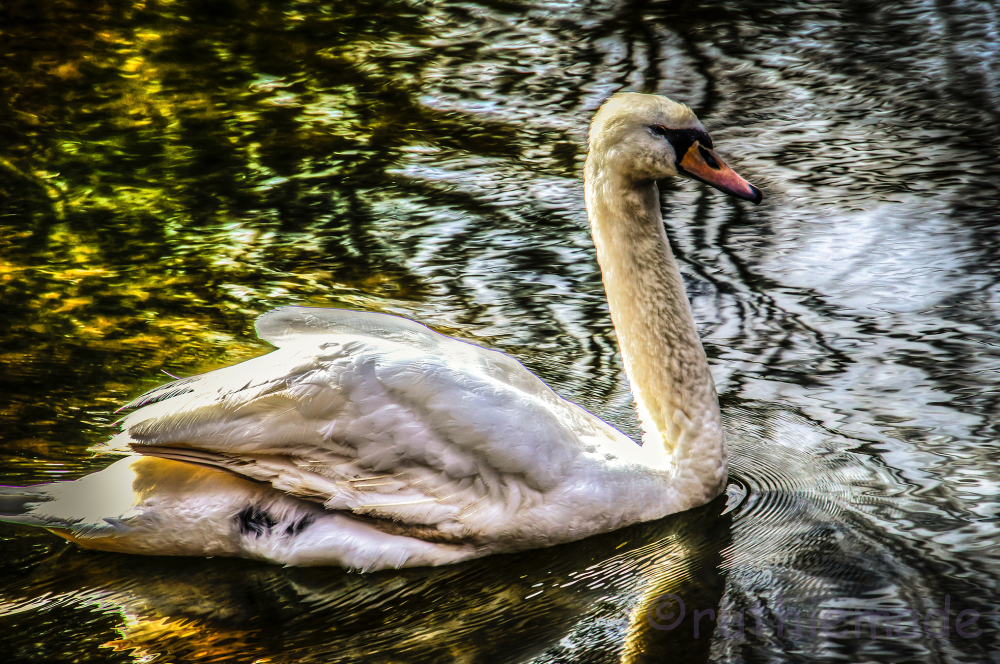 Drama Swan