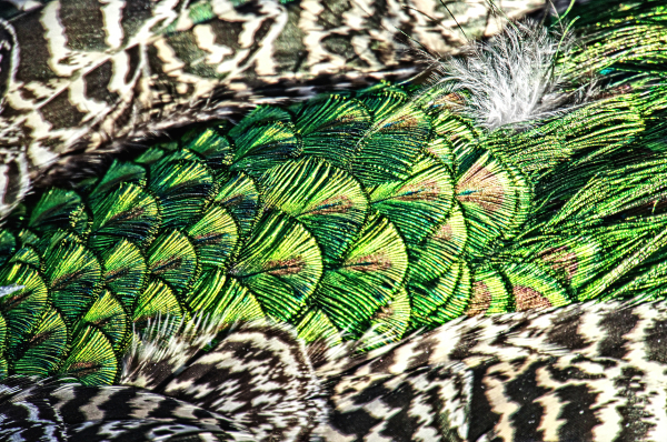 Aminus3 Color Featured photo Peacock Feathers | 6 April 2014