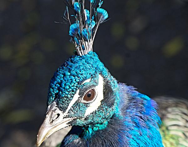 Peacock face