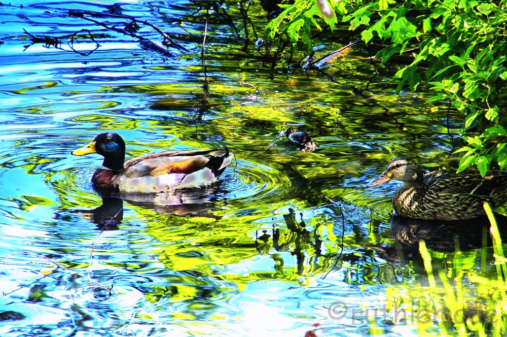 Duck Swirls