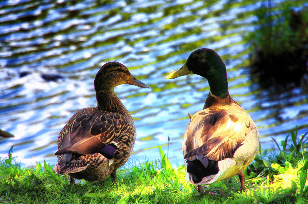 Duck Sweethearts
