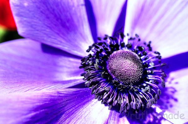 Longwood Gardens Purple flower