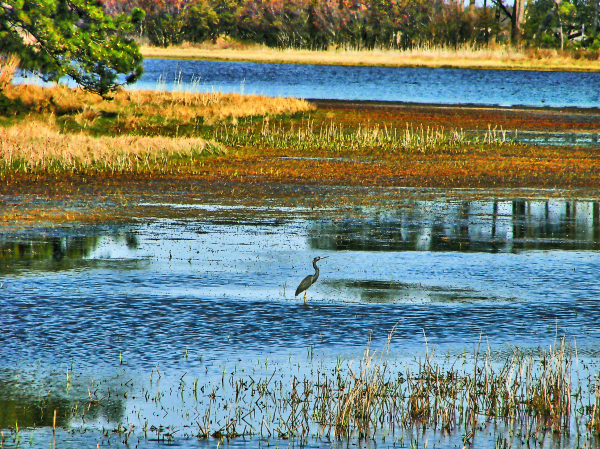 Chincoteague heron