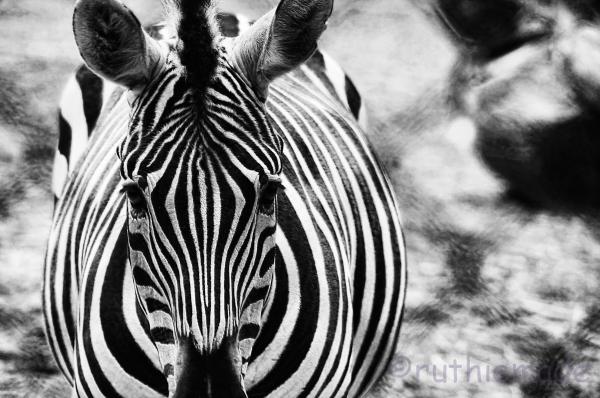 Head on Stripes
