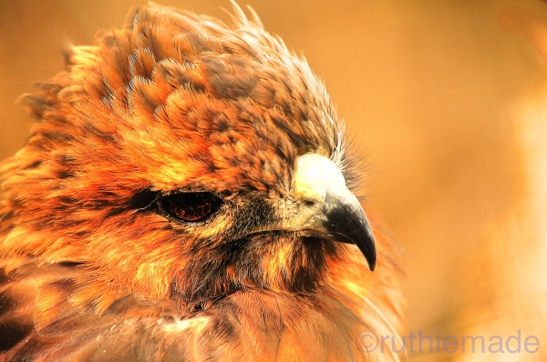 Cape May Zoo Hawk Portrait