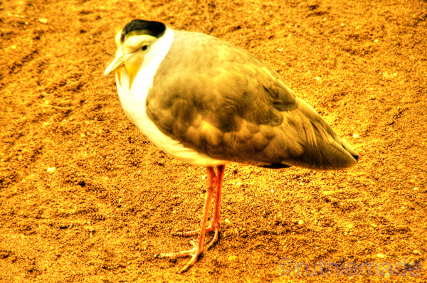 New Zealand Spur WInged Plover