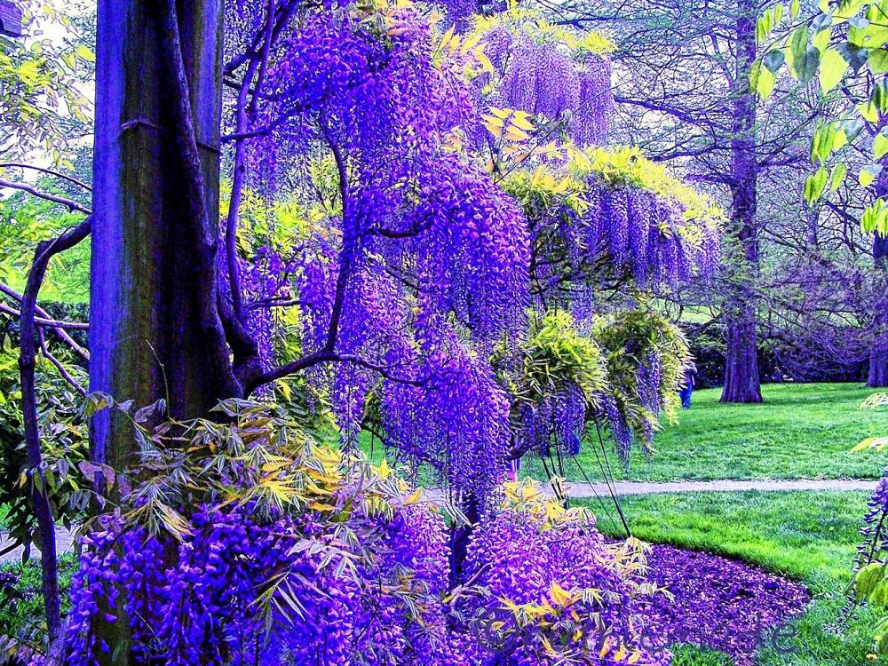 Longwood Gardens Wisteria