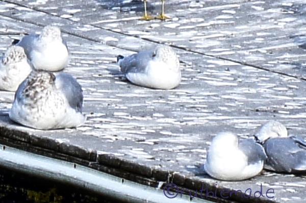 ST Seagulls
