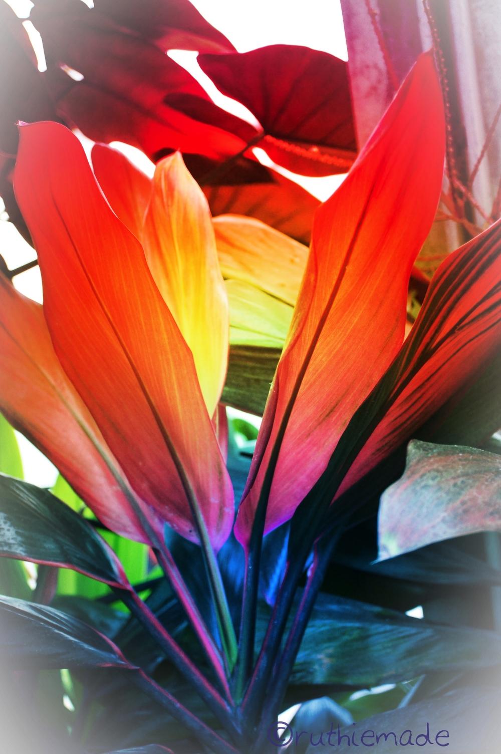 Rainbow Plant
