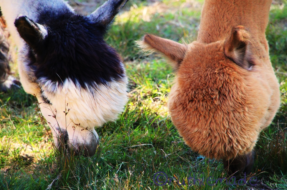 Alpacas Having a Bite