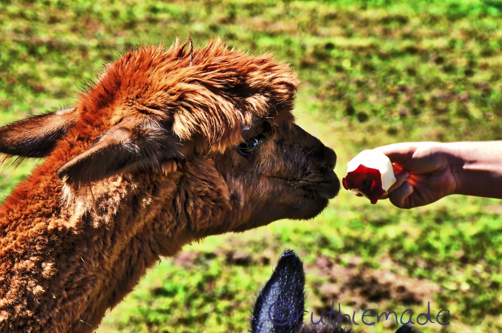ALpaca Having a Bite 2