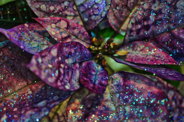 SParkly Poinsettia