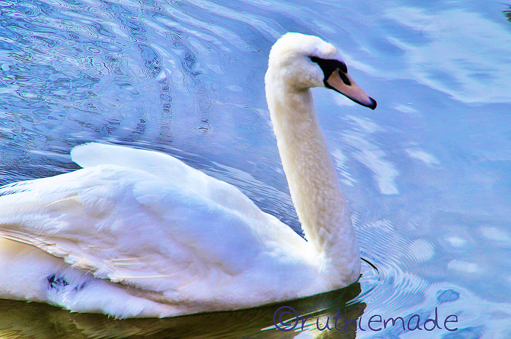 Swan in Canal