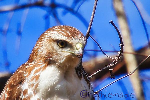 Hawk Portrait