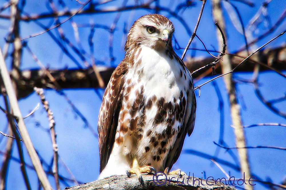 Hawk in tree 2