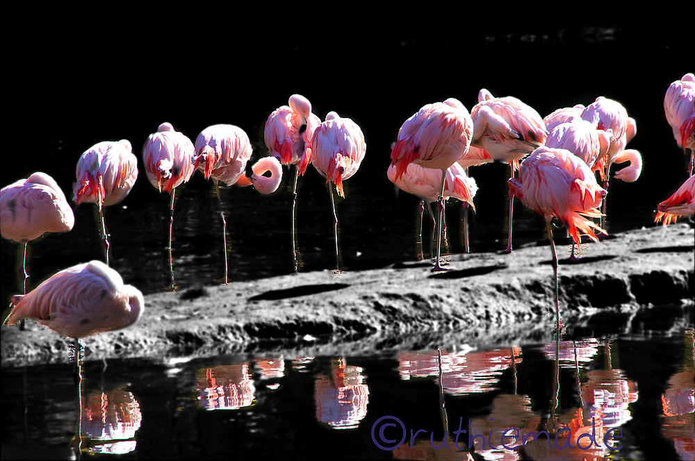 Line of Flamingos