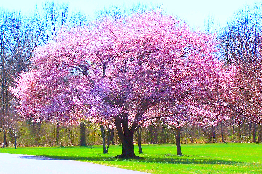 Flowering Tree in Park