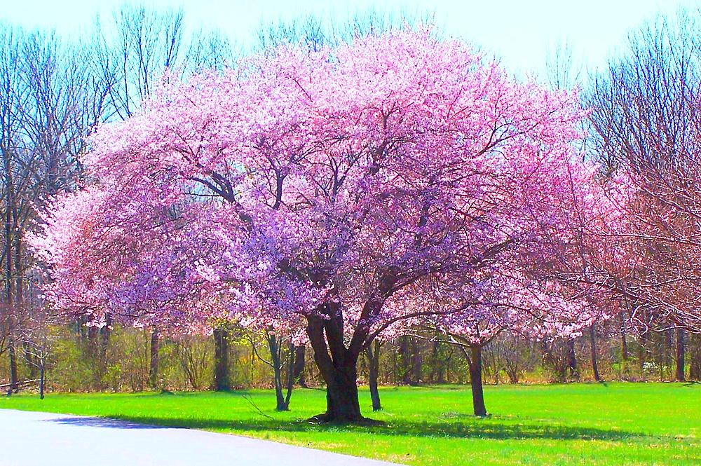 Flowering Tree in Park