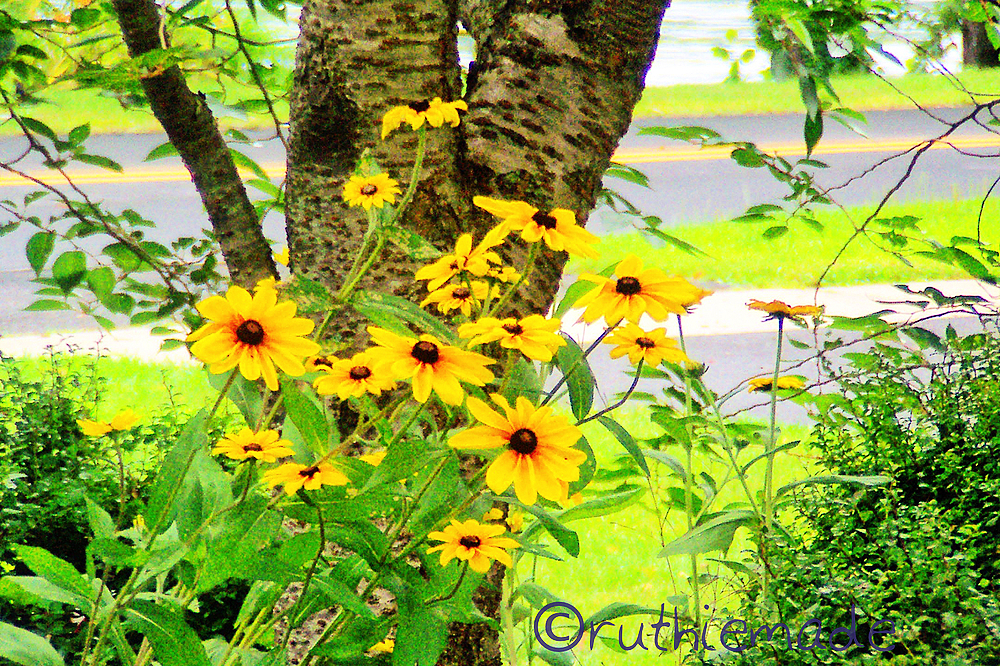 Black Eyes Susans
