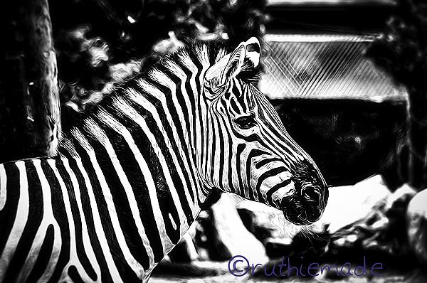 Hello Zebra