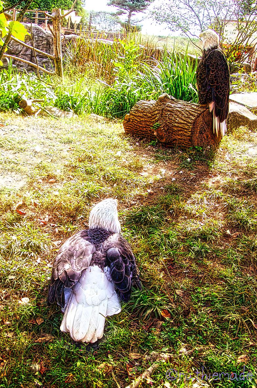 Eagles at Zoo