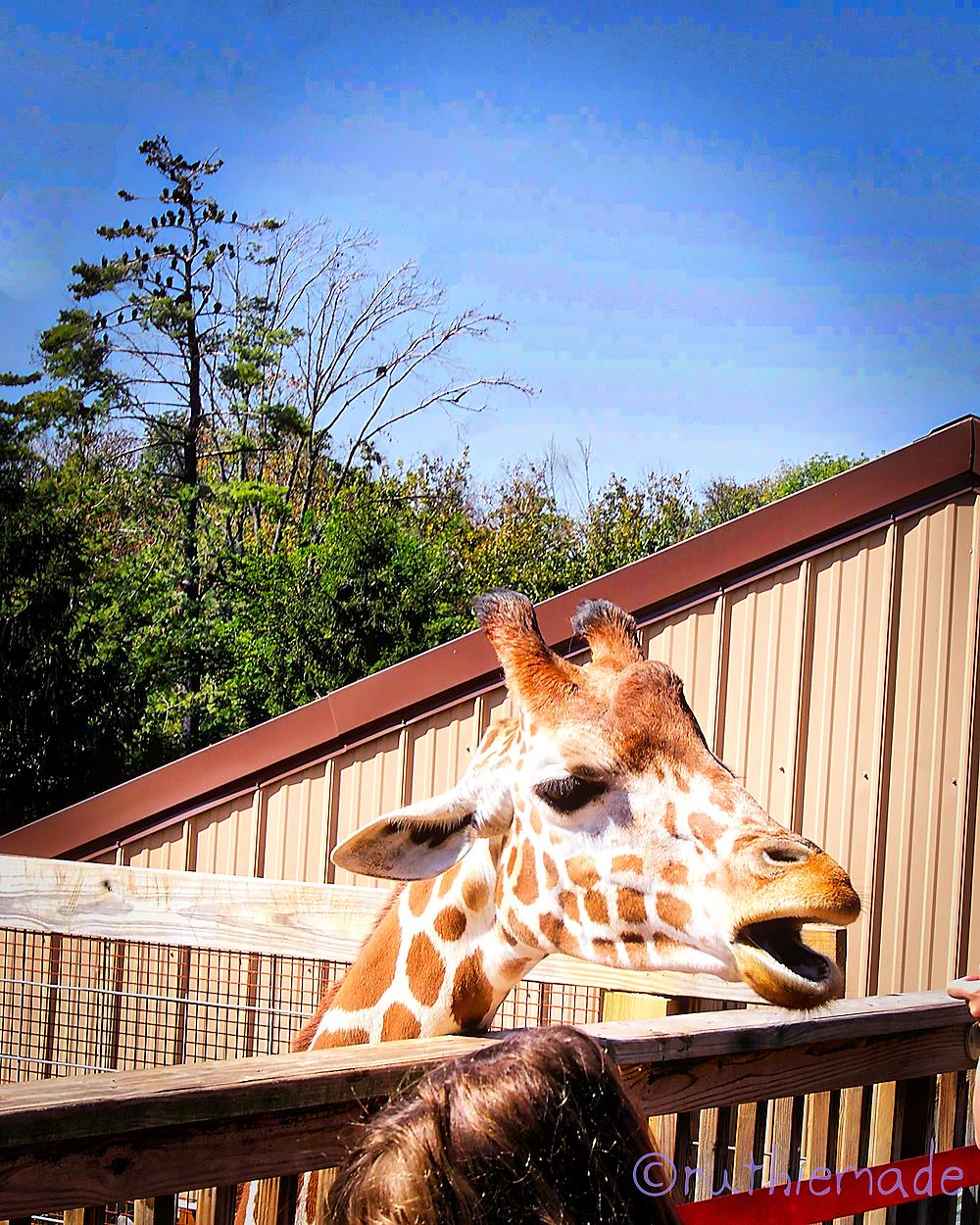 ST Giraffe Serenade
