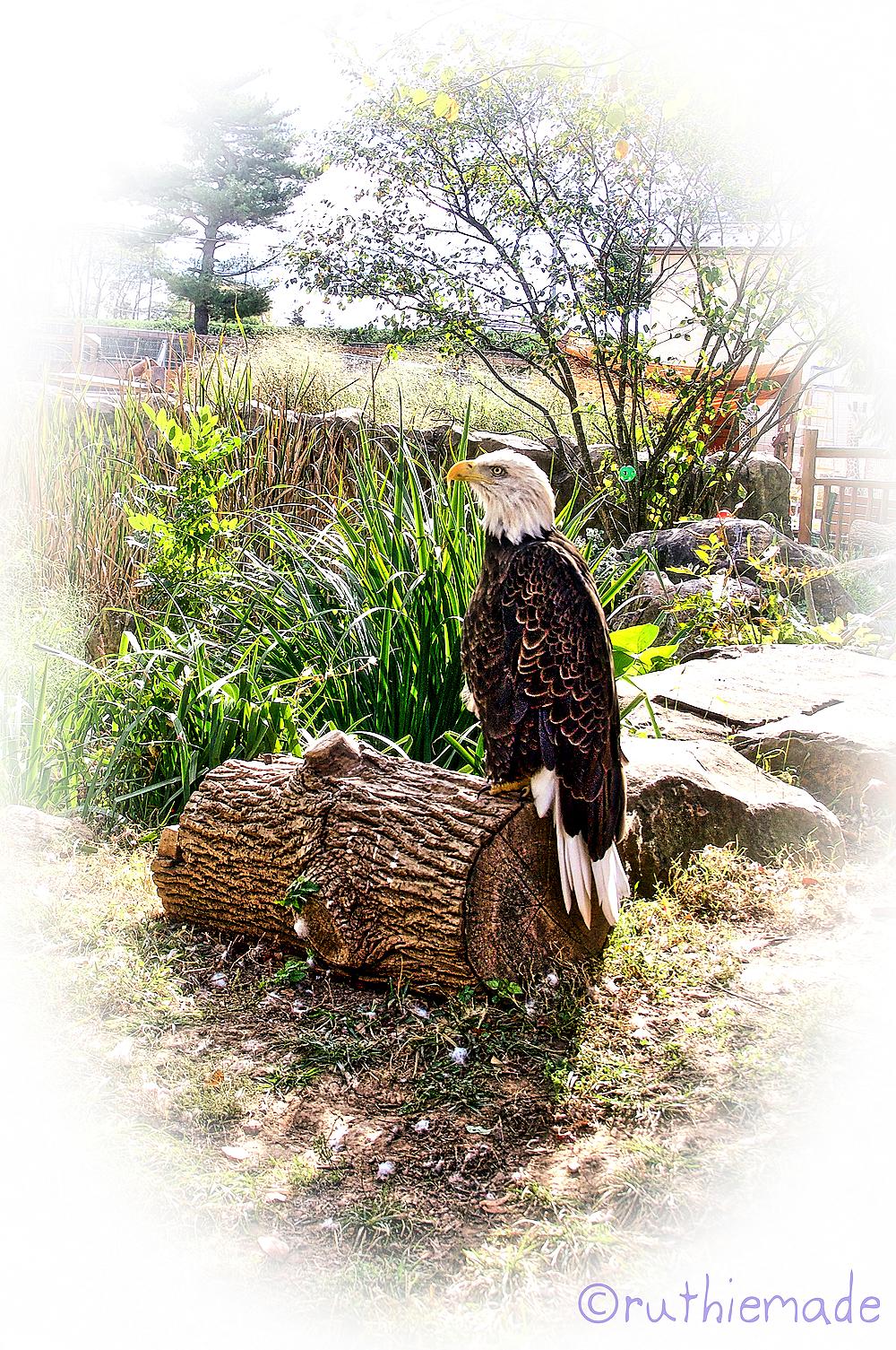 Bald Eagle in Zoo