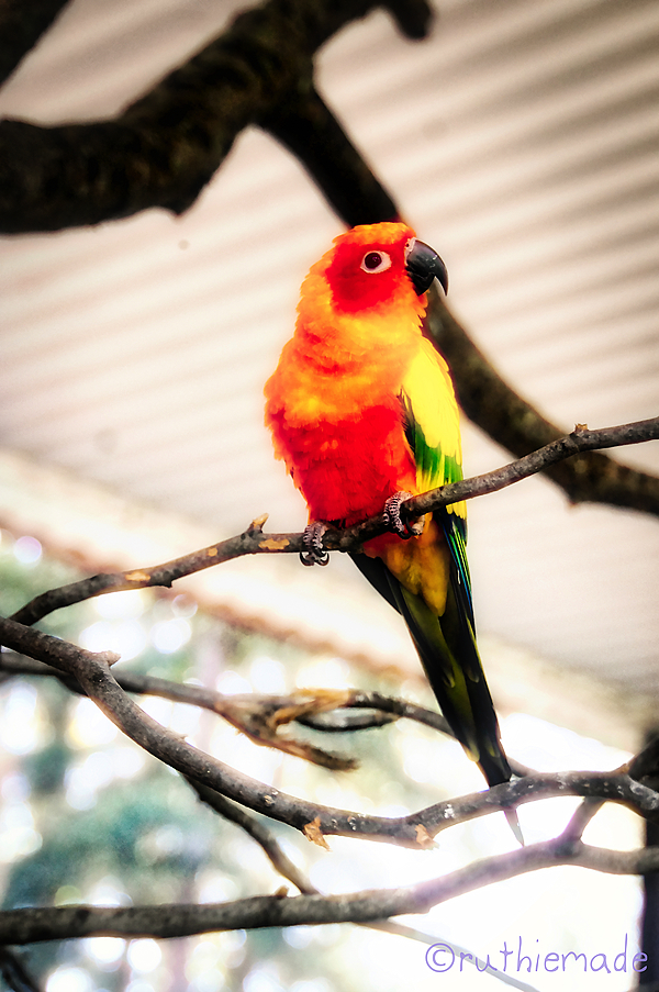 Sun Conure at Zoo