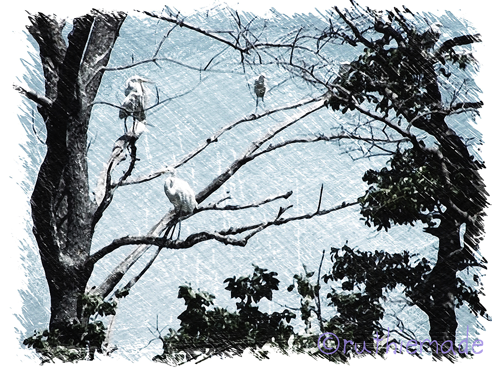 Egrets in Trees graphic