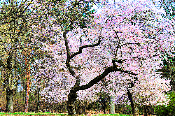 Tree in Bloom at Park