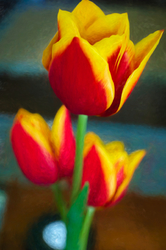 Two toned Tulips