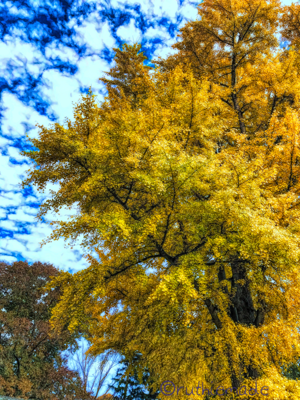 Gingko Tree 1