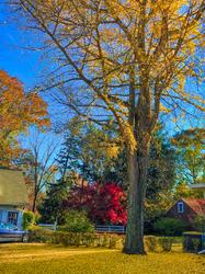 My Gingko Tree 3